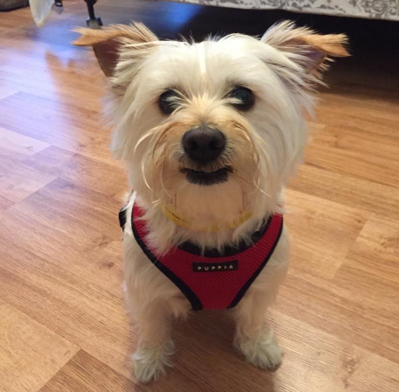 Westie mix puppies for adoption