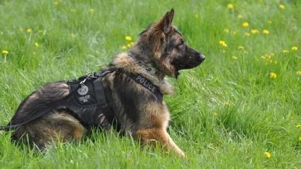 Quanto Was A K 9 Hero Who Was Killed In The Line Of Duty But Not