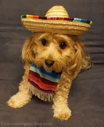 Dogs Designer Dogs Yorkipoo Yorkie Poo Mexican Cinco De Mayo Poncho Sombrero Dog Costume Dog Halloween Costumes Halloween Animals Dog Blog