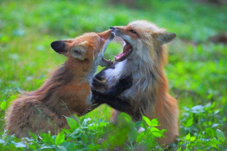 Frolicking(Fox Brather) by yume . on 500px