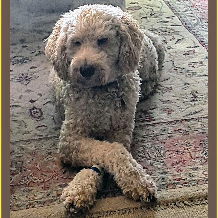 Standard labradoodle puppies for sale in ohio
