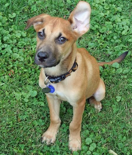 Shepard Rodesian Puppy Mix Remy The Mixed Breed Puppies