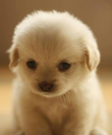 Pin By Eli T On Puppies Fluffy Animals Cute Animals Cute Little Dogs