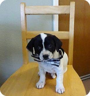 Lathrop Ca Cattle Dog Mix Meet Napolean A Puppy For Adoption