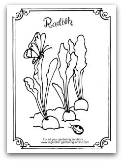 Radishes and butterfly coloring