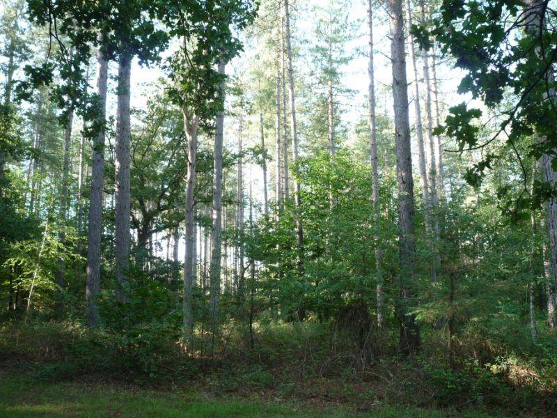 Sologne Sud Saint Viatre Propriete Forestiere De 63 Ha Majorite Feuillus Chenes Et Bouleaux Tres Belle Sapiniere Laricio De 10 Ha Sologne Forestier Foret