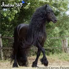 Resultat De Recherche D Images Pour Frison Cheval Photo Fries Paard Paarden Mooie Paarden