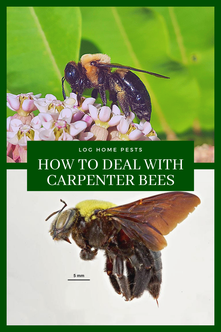 How to Get Rid of Carpenter Bees   Carpenter bee, Bee ...