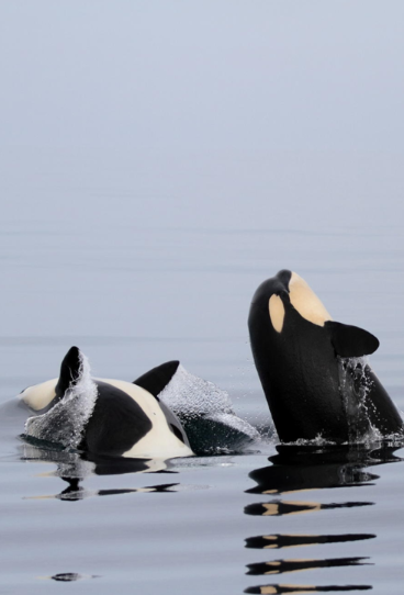 Pin By Sam On Killer Whale Wallpaper IPhone