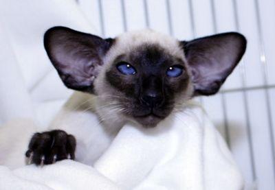 Mafdet SiameseSiamese Kittens For Sale in Suffolk UK