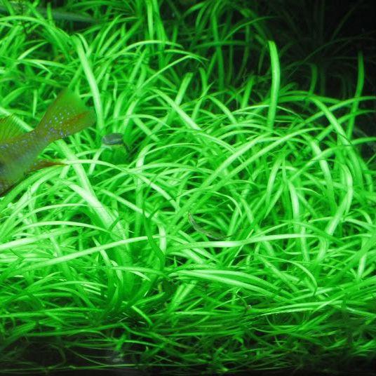 Ranalisma Rostrata On Sale Now Aquatic Mag Plantas Acuaticas Plantas