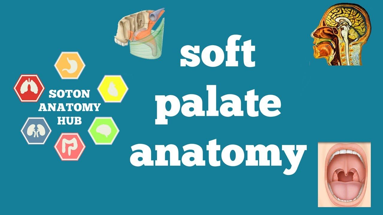 Soft palate anatomy | anatomy | Pinterest | Anatomy