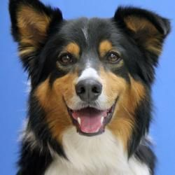Adopt Ozzie Adopted On Australian Shepherd Dogs Cute Funny