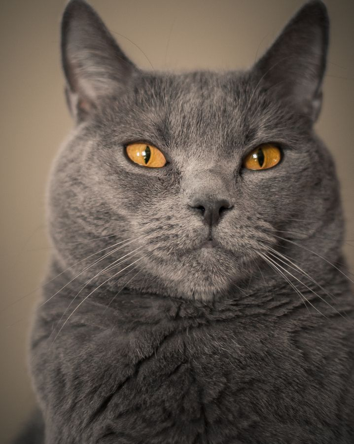 The Gray Cats Grey cat breeds, Fluffy cat breeds, Cats
