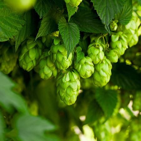 Cascade Hops Plant Fast Growing Trees