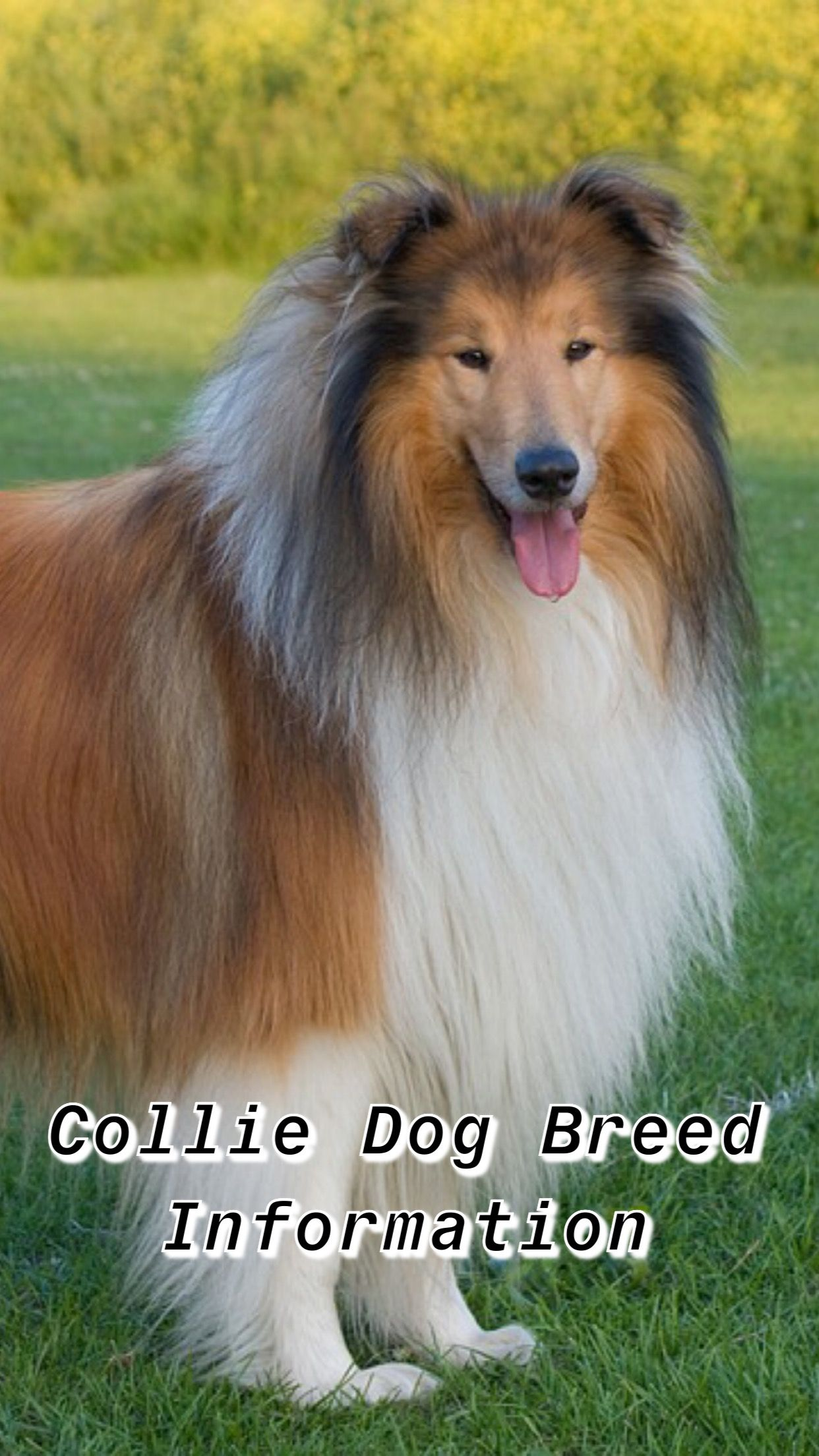Ultimate Collie Breed Information Collie Collie Dog