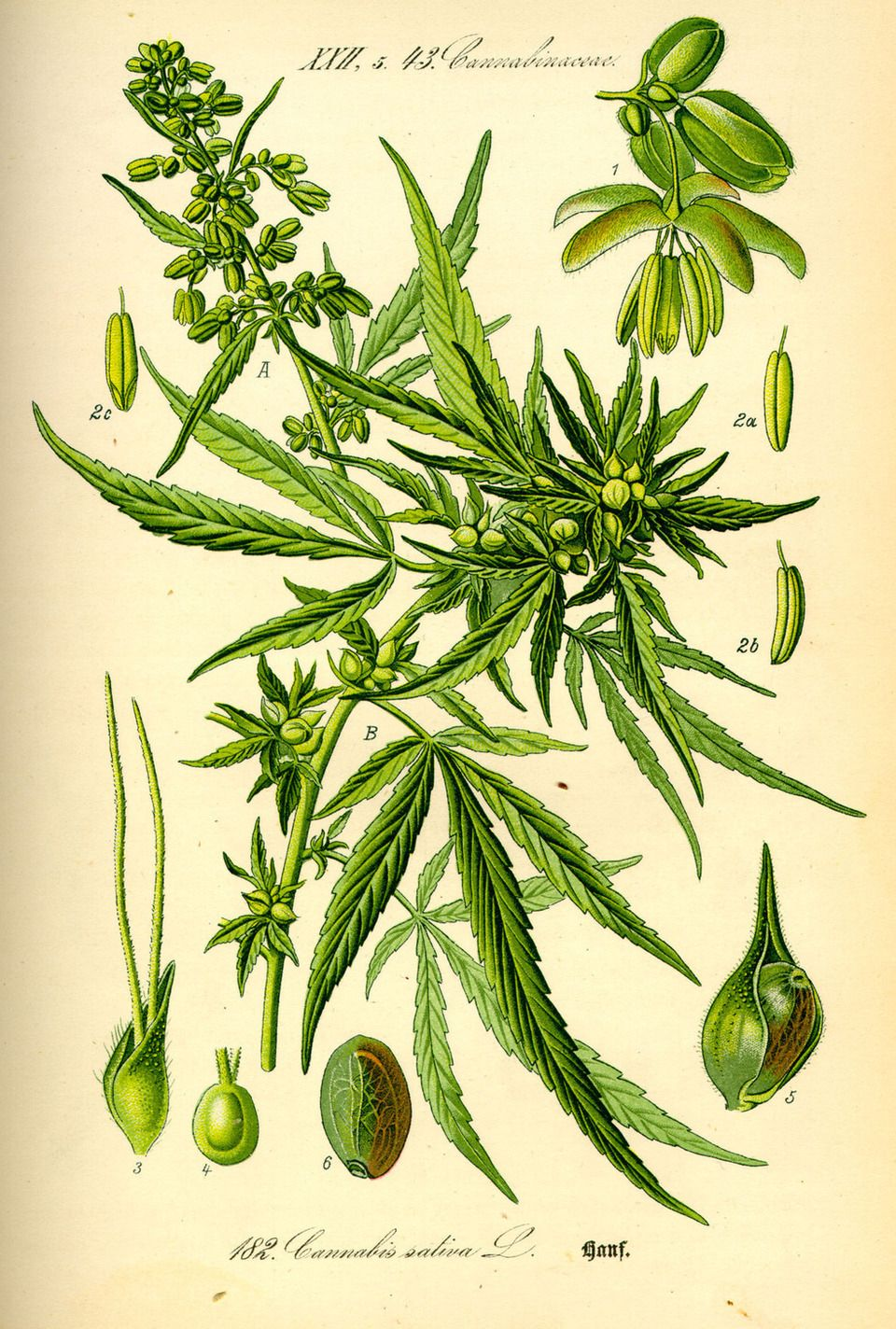 Cannabis Sativa | Expedición Botánica | Pinterest | Expedicion y Laminas