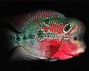 Flowerhorn Fish Pictures Luohan Fish Luohan Fish Aquarium Fish Fish Freshwater Aquarium Fish
