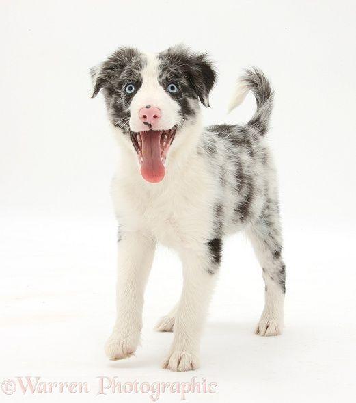 Blue Merle Border Collie Puppy Collie Puppies Border Collie Puppies Collie