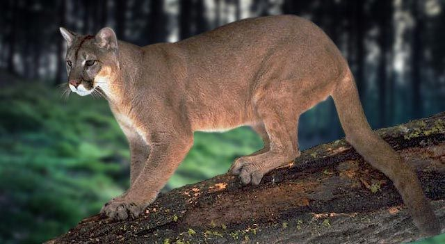eastern puma difference