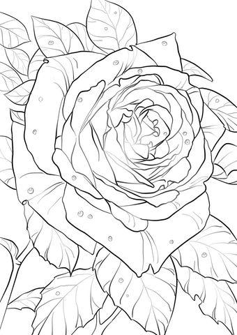 Rosa de Oklahoma Dibujo para colorear. Categorías: Rosas. Páginas ...
