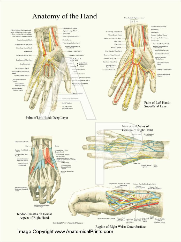 Hand and Wrist Anatomy Poster - 18\