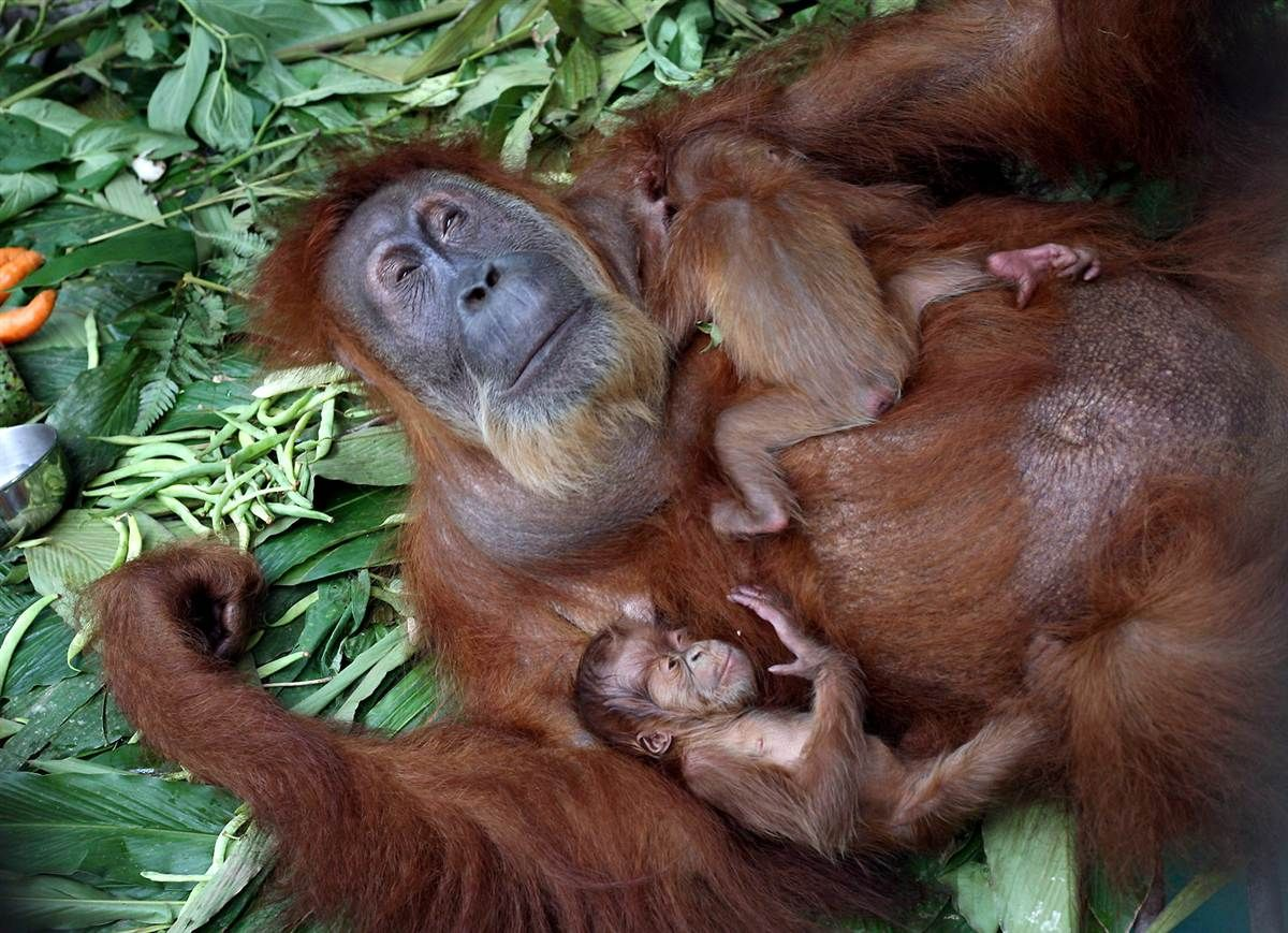 When an Orangutan Spots a Mom-to-Bes Bump Through Zoo Glass, He Does Something TOO Precious