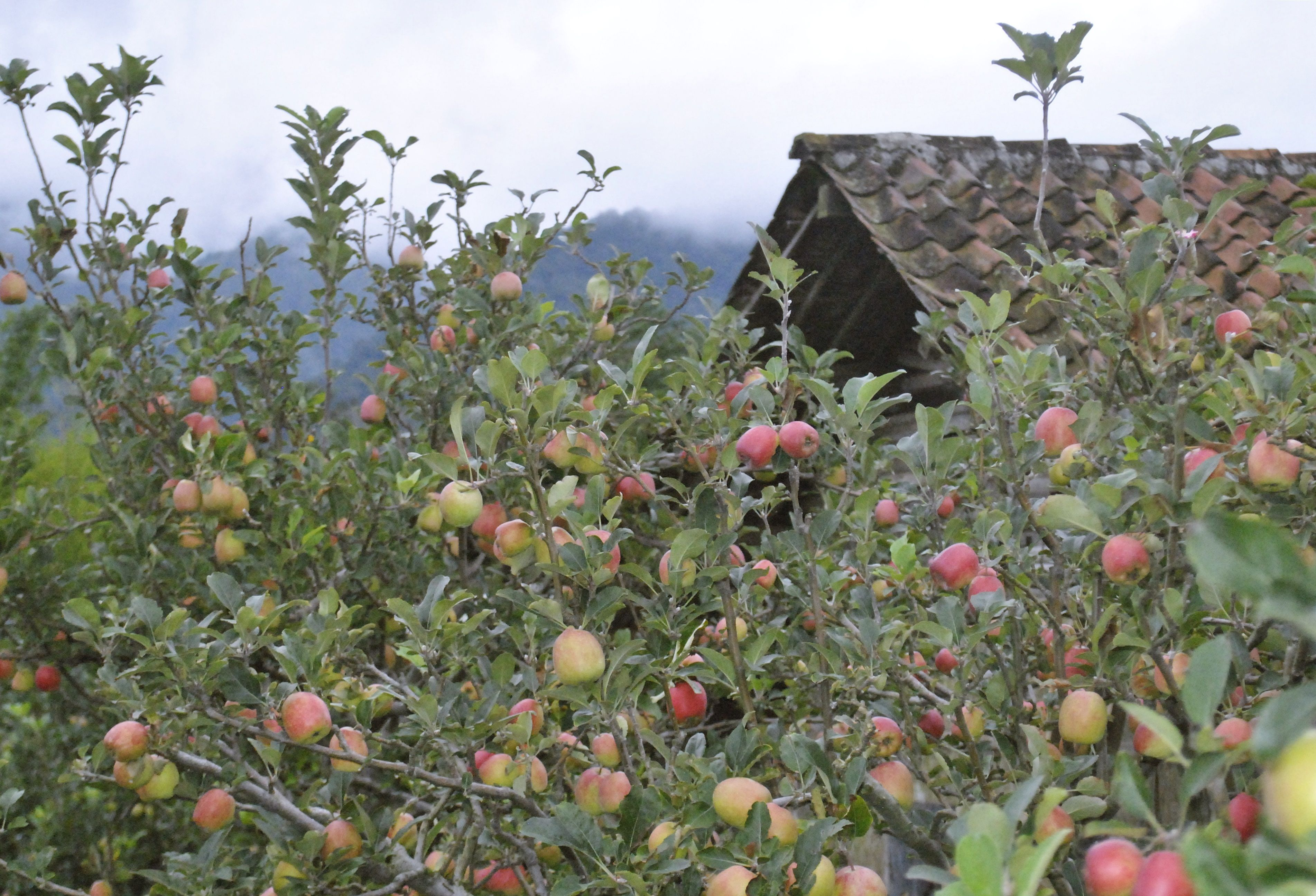 Wisata Kebun Apel Malang