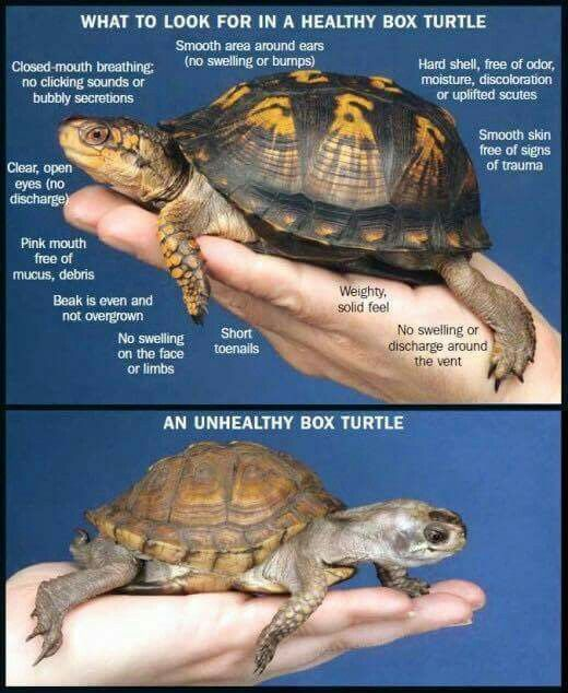 How To Properly House And Care For Pet Box Turtles Turtle Care Pet Turtle Care Pet Turtle