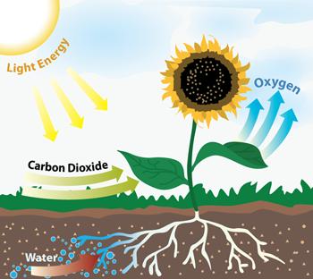 Photosynthesis Plants Photosynthesis Photosynthesis Projects School Art Projects