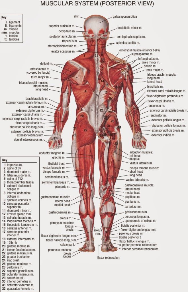Back Muscle Anatomy Holistic Well Being Pinterest Muscle
