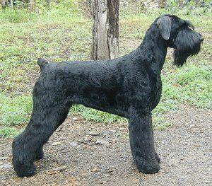 Black Russian Terrier Breeder Black Russian Terrier Russian