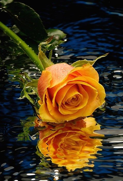 Reflections of an apricot rose