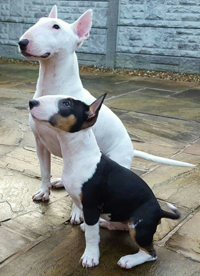 Can We Have That Treat Now Mini Bull Terriers Bull Terrier