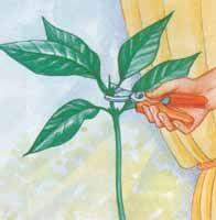 Couper la tige au-dessus de 2 feuilles opposées