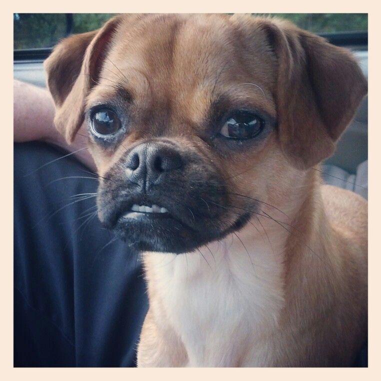 Bella Chug Dog Love Resembles My Tinky Girl Chug Dog