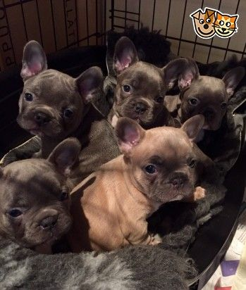 Magic Man Blue French Bulldog Kc Reg Puppies Cute Animals