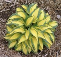 Hosta Color Changes -Perennial Resource