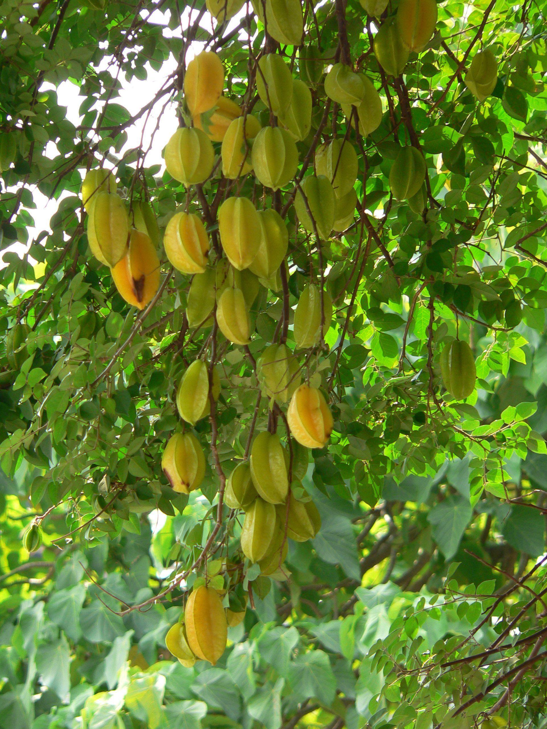 Star Fruit Fruit Tropical Fruits Dream Garden