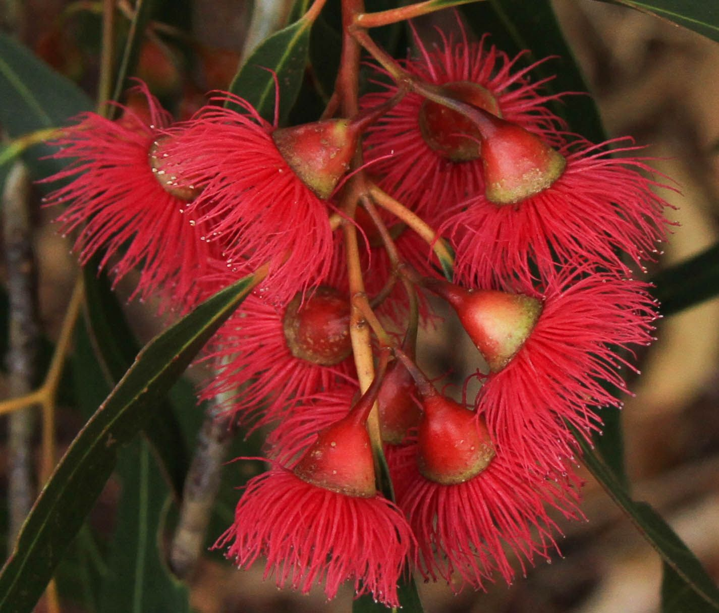 Australian Native Flowers Australian wildflowers, Garden