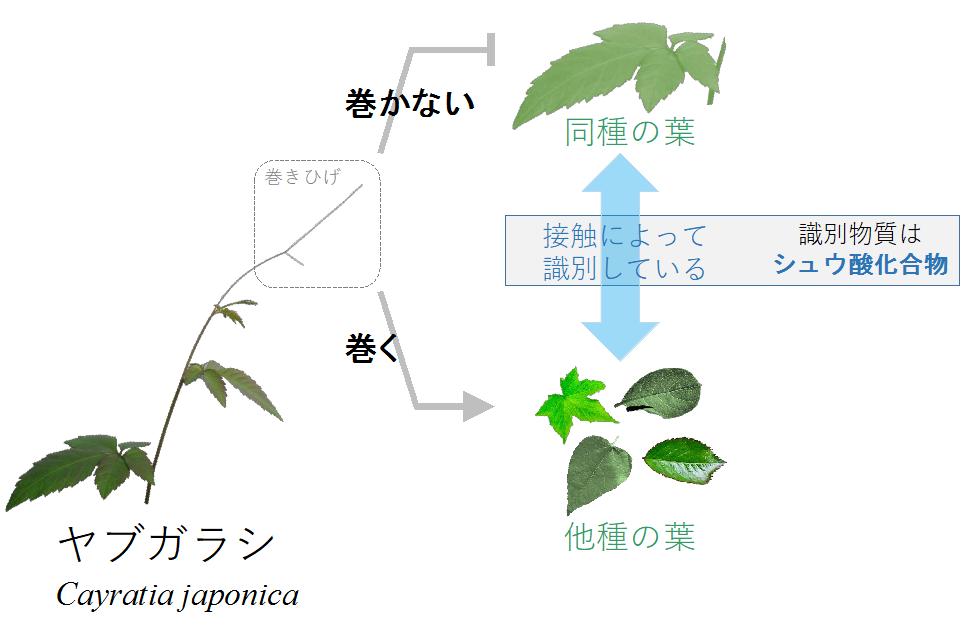 「ペロ・・・これは同種の味!!」つる植物は接触化学識別(味覚)を使って同種を避けている
