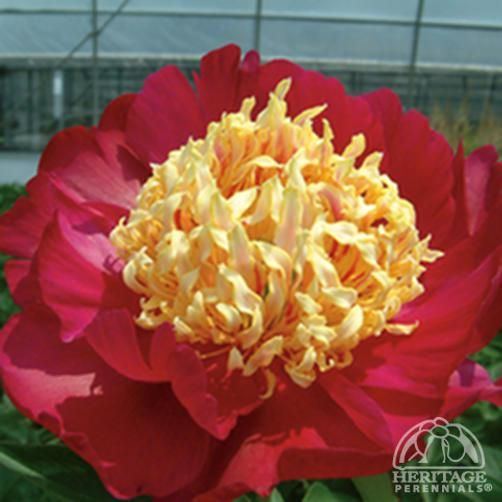 Blog The Chairman Of China Herbaceous Peony Association Peonies Garden Art Tree Peony