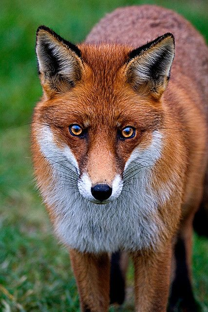 handsome red fox... I honestly thought this was a painting at first glance