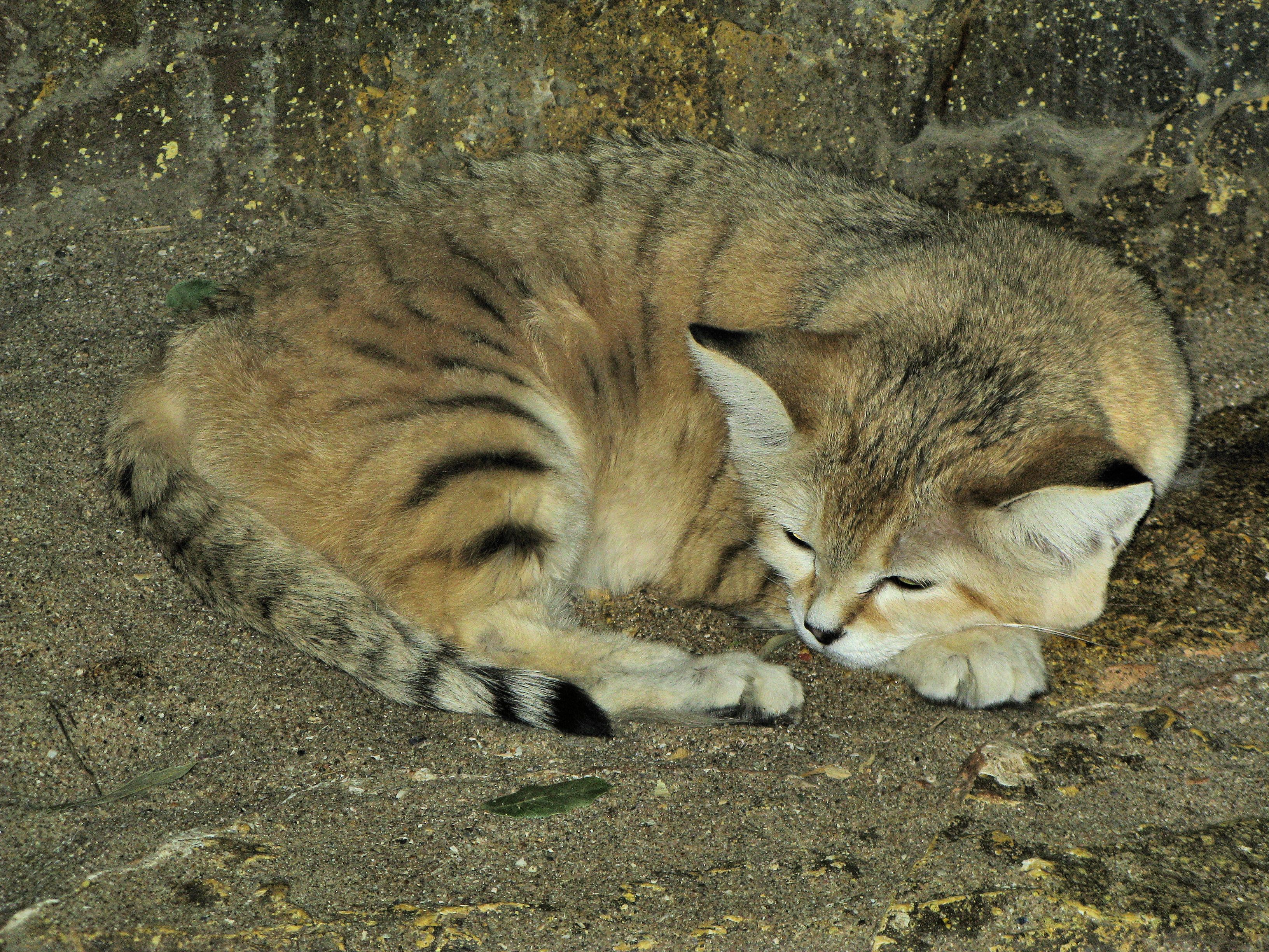 A very rare cat, the Chinese desert cat is a well