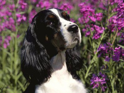 English Springer Spaniel Dog Usaby