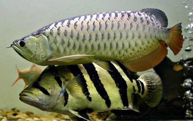 cichlids.com: Siamese Tiger Fish