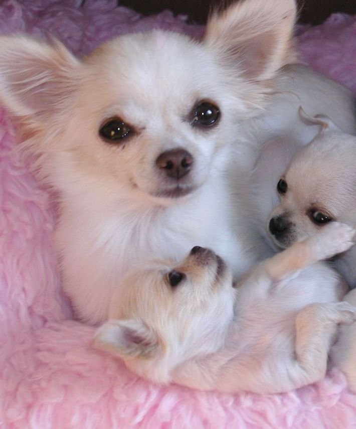 Mom And Puppies Chihuahua Chihuahua Welpen Chihuahua Welpen