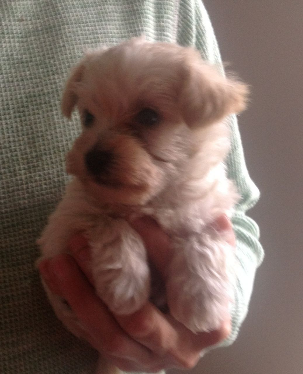 Tiny Westie X Teacup Toy Poodle Puppies For Sale Toy Poodle