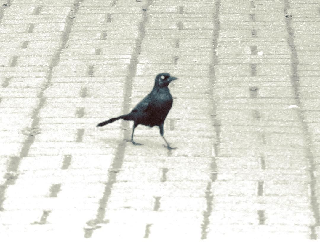 Love these birds...they are such good walkers. This guy is on one of my necklaces...he looks like a grackle but I am not sure.