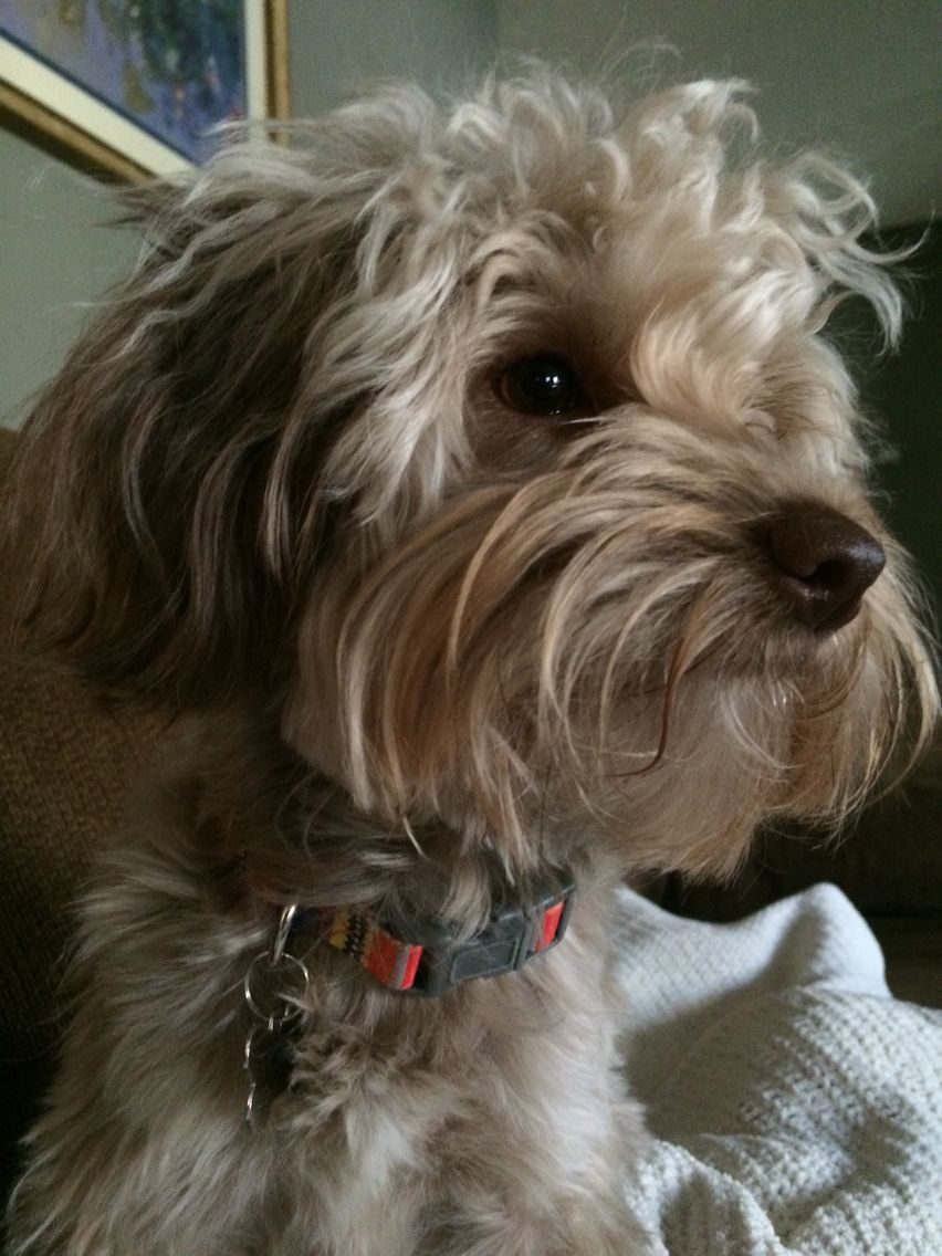 Teddy Our Awesome Hilarious Yorkie Poo Yorkie Poo Dog House
